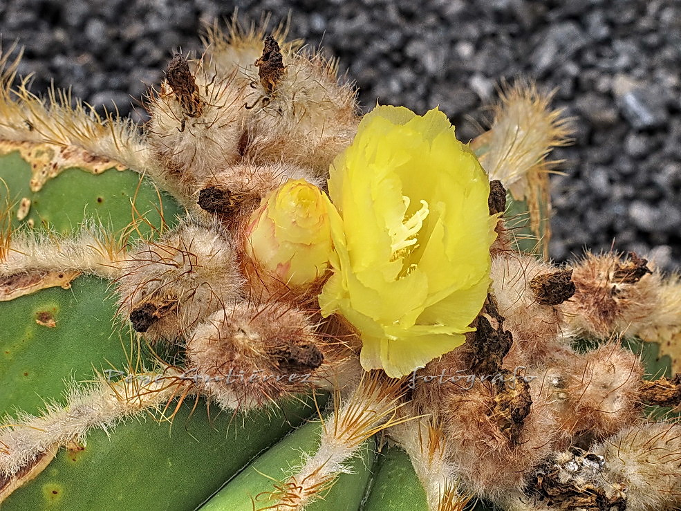 Jard n de cactus 13 flor amarilla de cactus esta for Semillas de cactus chile