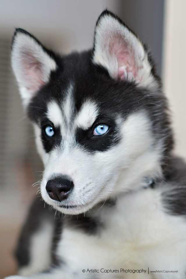 Pictures Of A Blue Dog In Black And White
