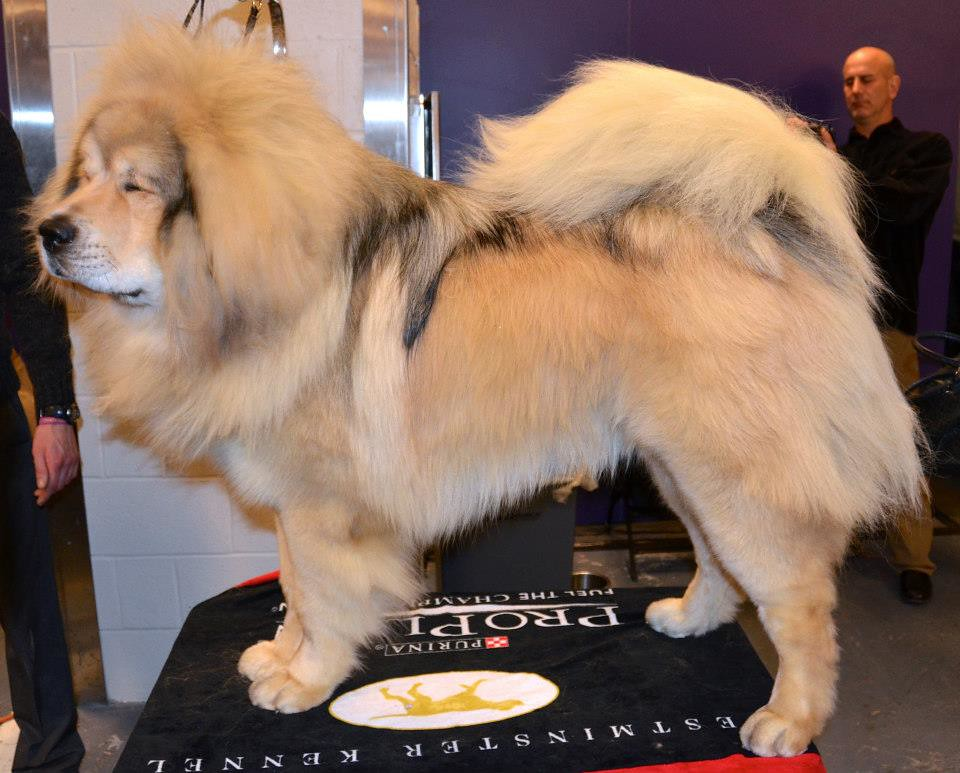 Westminster Dog Show Video For Sale