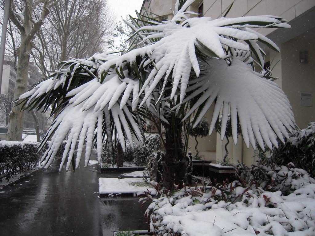 Palmier enneige image insolite d 39 un palmier sous la for Comment s occuper d un palmier
