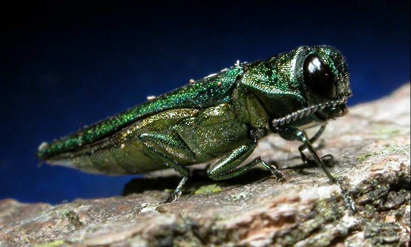 Image result for EMERALD ASH BORER