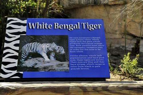 asian white bangle tigers