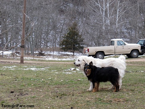 Hello spring (5) - Daisy and Bear taking a break from romping around - FarmgirlFare.com | by Farmgirl Susan