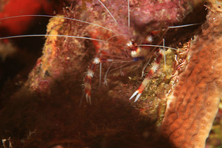 Barber Pole Shrimp | by laszlo-photo