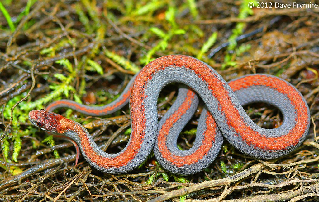 Red Bellied Mud Snake n Red Bellied Snake Female Calloway co ky