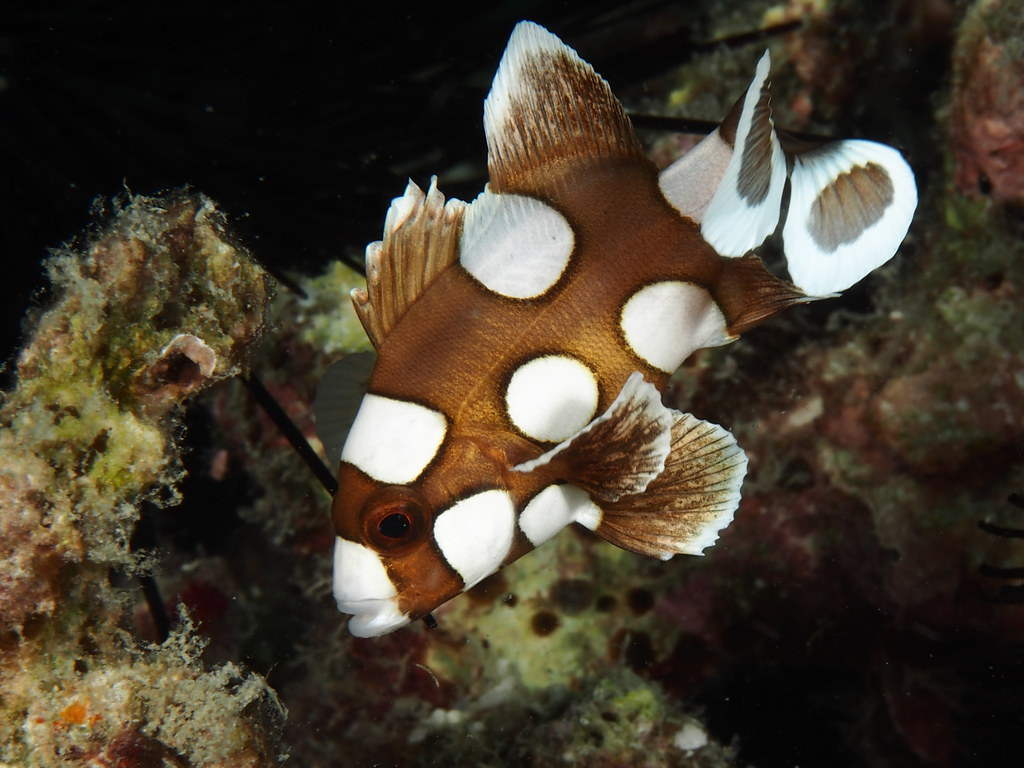 Juvenile harlequin sweetlips plectorhinchus chaetodonoide for Sweet lips fish