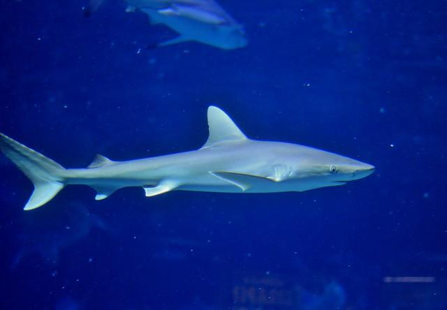 blacknose shark flickr photo sharing