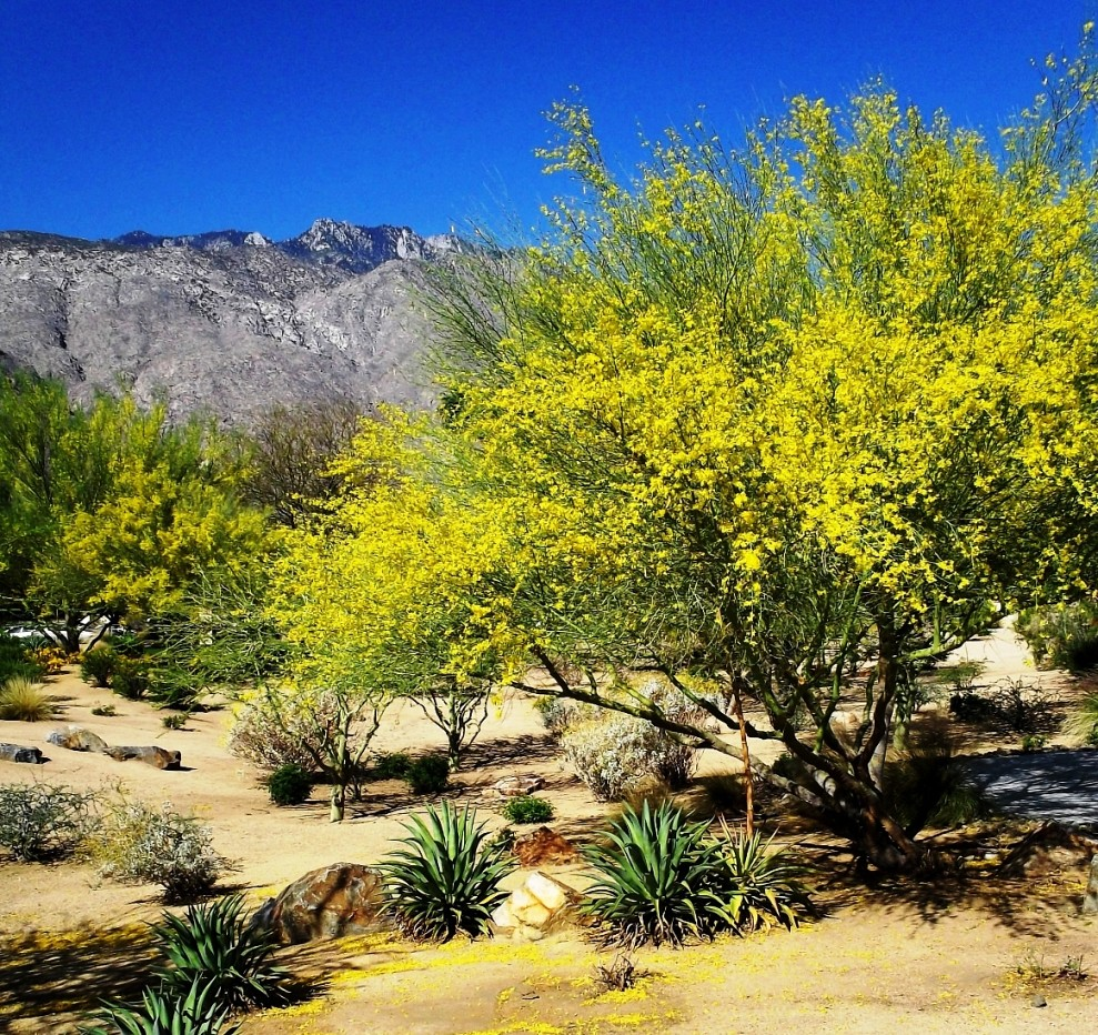 Palo Verde Blooms, Palm Springs, California | Bright ...
