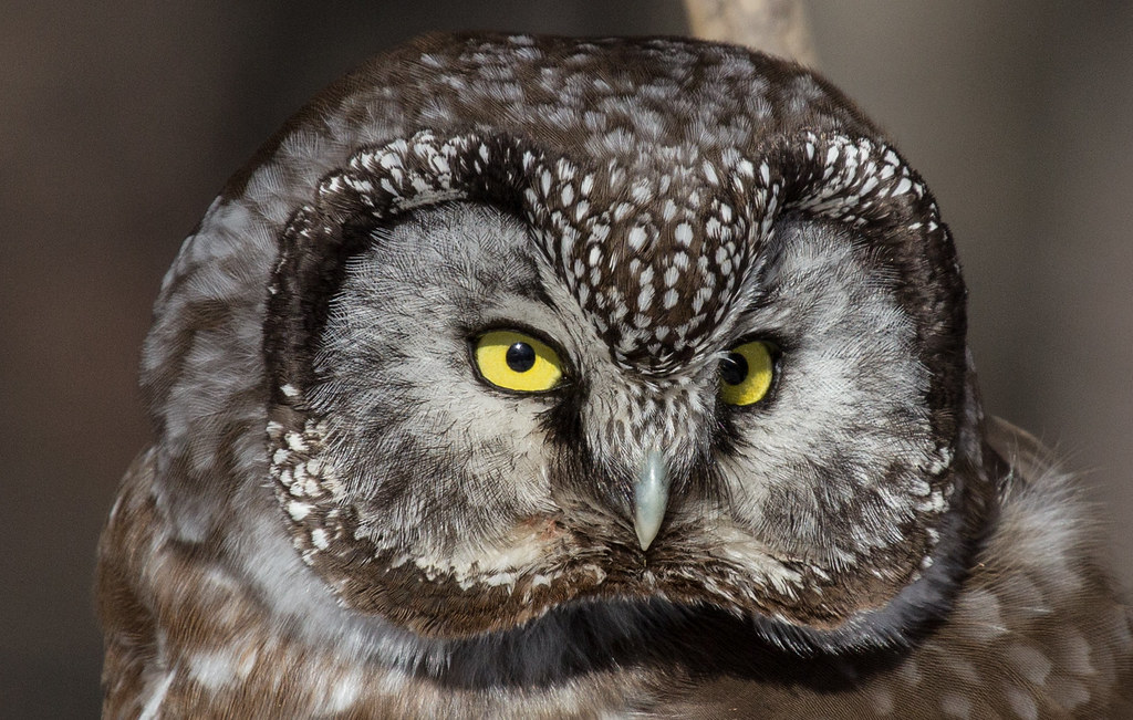 Boreal Owl A Highly Nocturnal Species