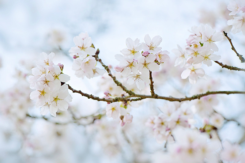 Photograph Cherry Blossom by Jacky Parker