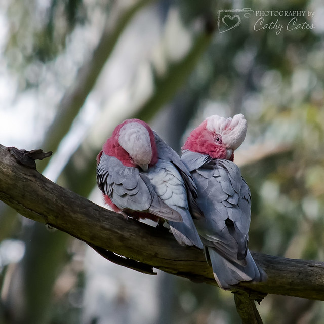 Just a couple of Galahs