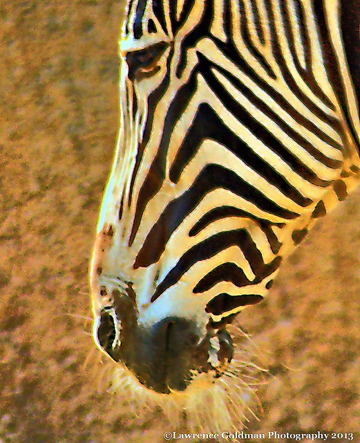 Zebra face profile - photo#10