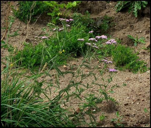 Achillea millefolium - achillée millefeuille 28391966995_92a47e24d5
