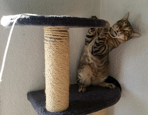 Cotton y Cobby, gatos pardo y blanquipardo inseparables, nacidos en Febrero´15, necesitan adopción Conjunta. Valencia. 29534918686_02337fef1a