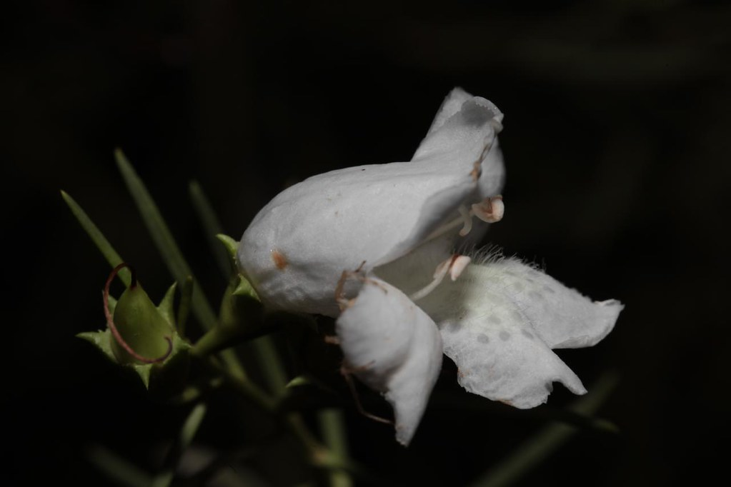 Lignum fuchsia bush flowers eremophila polyclada olive flickr lignum fuchsia bush flowers eremophila polyclada olive pink botanic gardens alice springs mightylinksfo