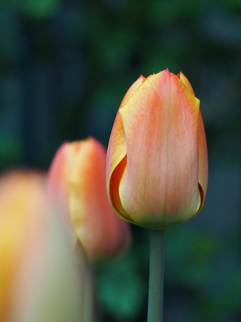 tulipe 50mm