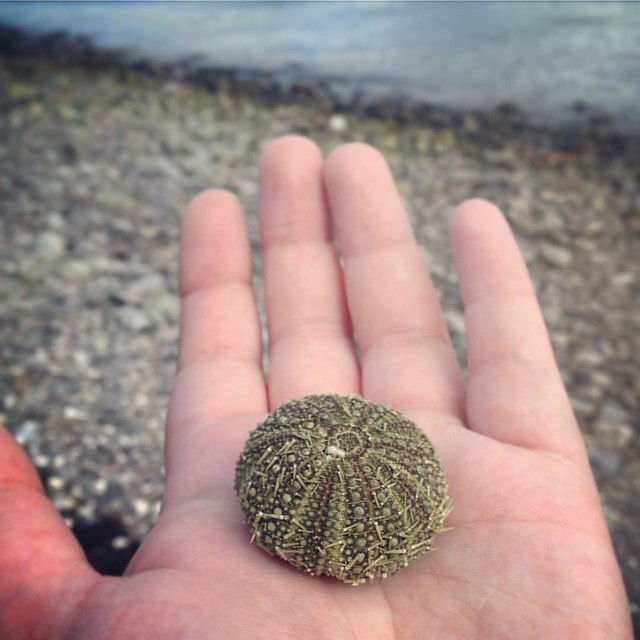 Sea Urchin.  Rothven, Scottish Highlands  #Rothven #scottish highlands #scotland #scottishscenery