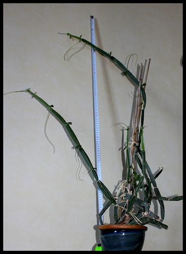 Cissus quadrangularis (2)