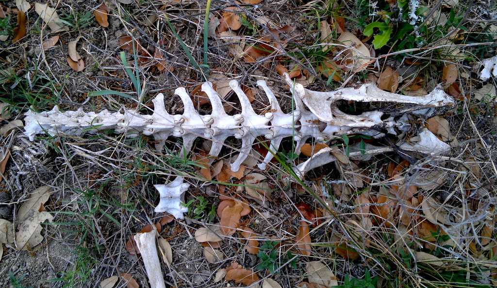 Deer Pelvis And End Of The Spine On The Roadside You