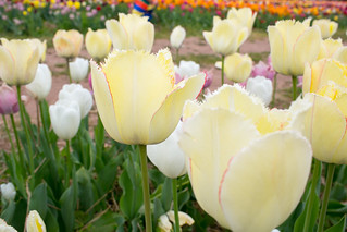 Burnside Tulip Farm 2013-7006.jpg | by pillpusher