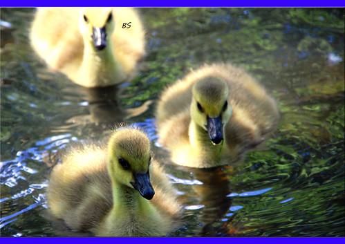 Alle meine Entchen - Entenküken ... Foto: Brigitte Stolle