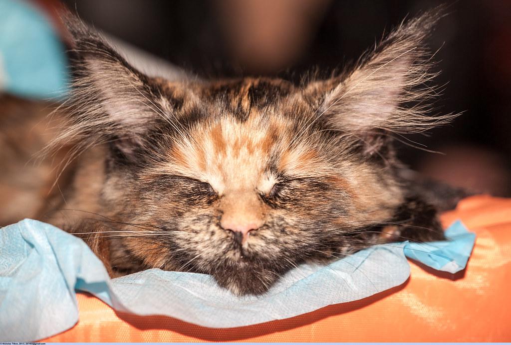 Шотландские вислоухие котята  Питомник шотландских кошек