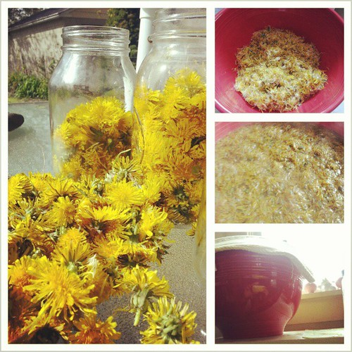 Pick 2 quarts dandelion flowers, remove base, add gallon of boiling water, let sit two days. | by DanaK~WaterPenny