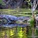 Undulating alligator at Six Mile Cypress