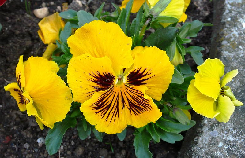 Yellow pansies Baseltor
