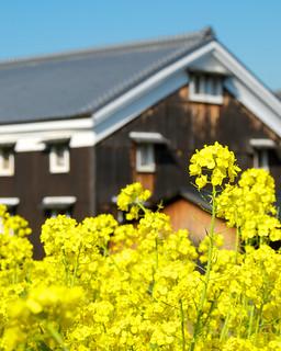 松本酒造と菜の花 / Fushimi in Spring