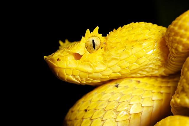 Yellow eyelash pit viper (Bothriechis schlegelii) | Found ...