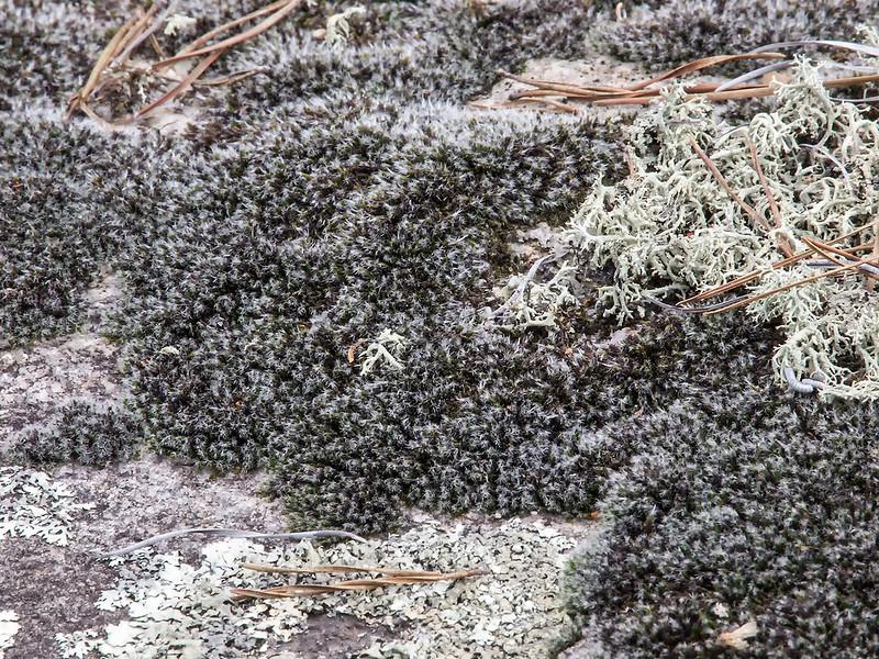 Grimma dry rock moss