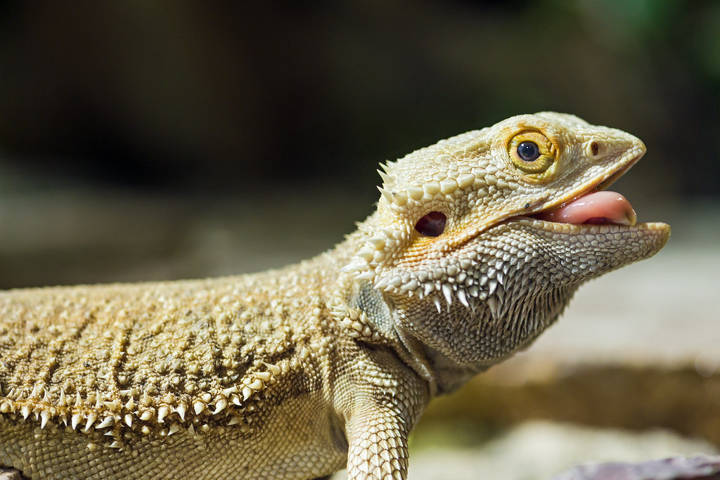 Bearded Dragon Showing Tongue The Last Picture Of This