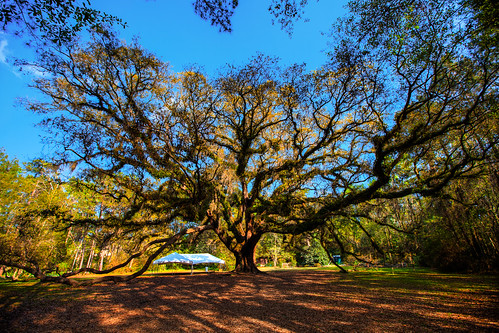 Giant oak tree at Lichgate, Tallahassee | by hecpara