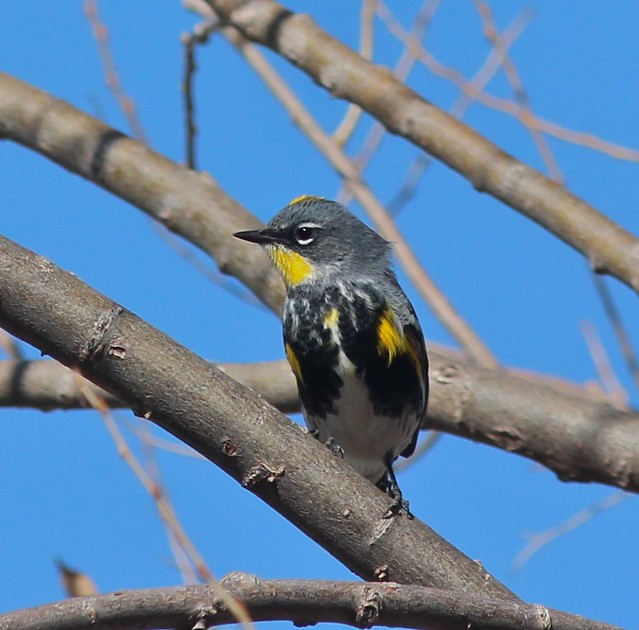 Myrtle x Audubon's Warbler Hybrid