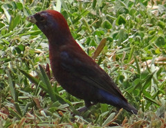 04142013 014a Varied Bunting - Passerina versicolor - male