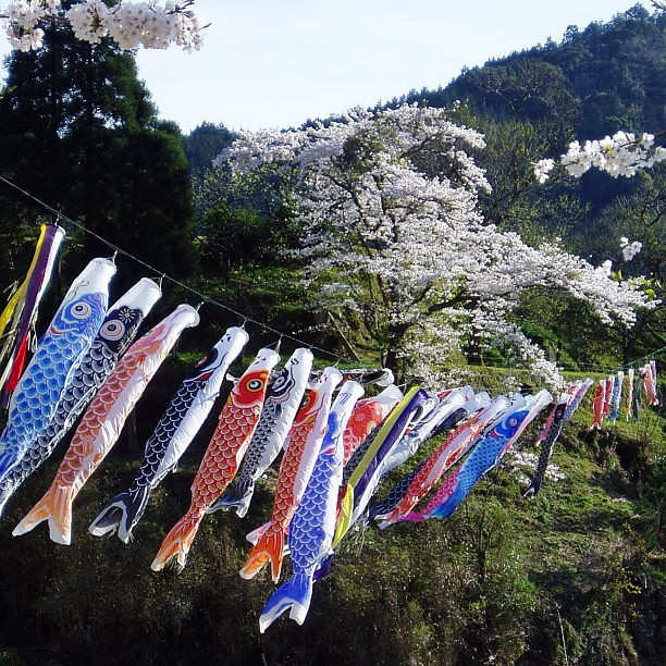 Koinobori meaning carp fish streamer in japanese for What does carp mean
