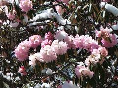 Rose Rhododendron Blüten