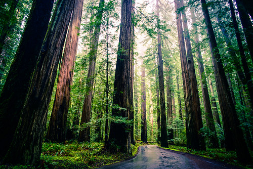 Redwoods | by michael.balint