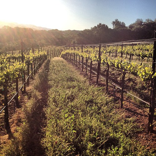 Sunrise in our Petit Verdot vineyards. Buds enjoying the warm spring. #ww | by jordanwinery.com