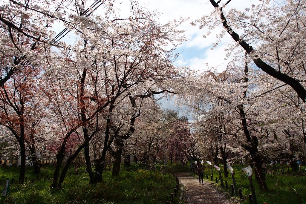京都のお花見おすすめスポット 平野神社