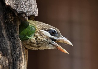 White Cheeked Barbet | by Sushil Katre
