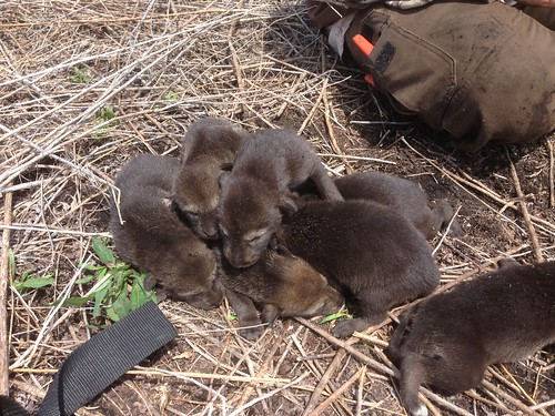 2013 Pups | by Red Wolf Recovery Program