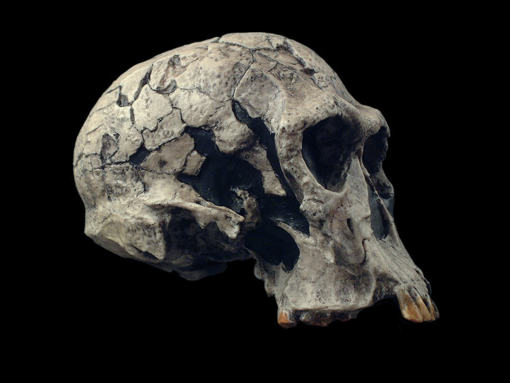 hominid skull set homo habilis knm