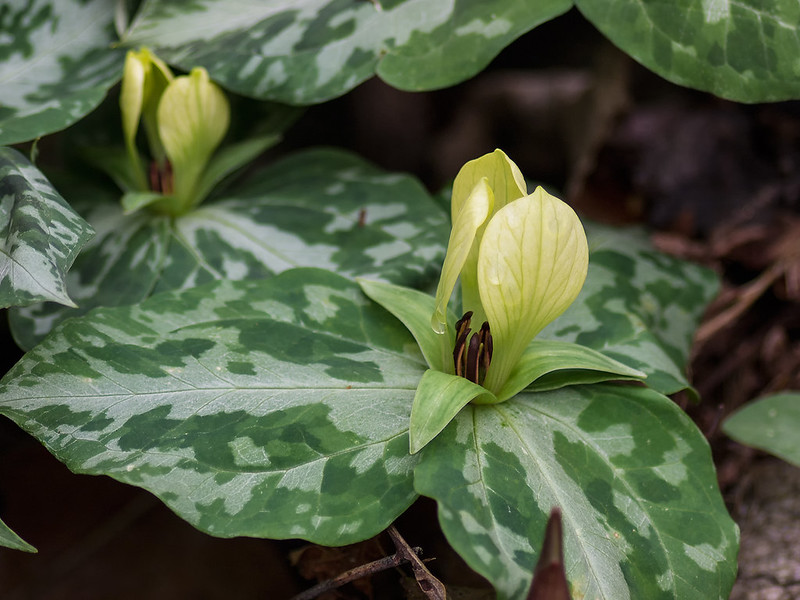Faded Trillium in flower