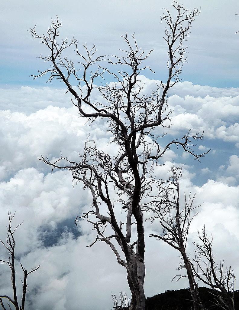 tanpa daun | diambil di Gunung Slamet, menjelang puncak ...