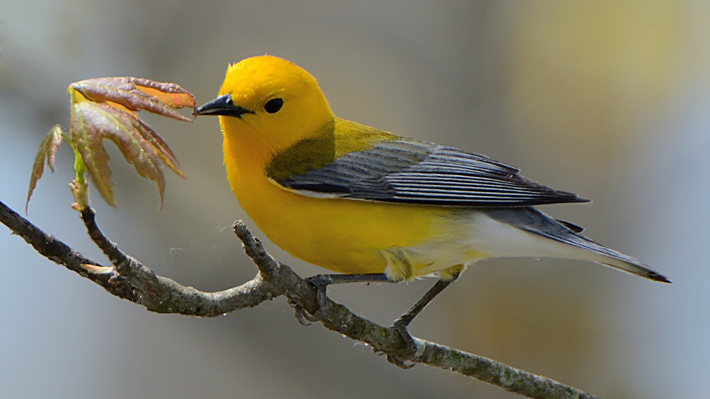Prothonotary Warbler Protonotaria Citrea Explored Flickr
