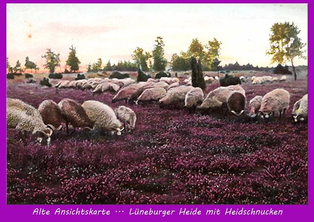 Heide - Heideblüte - Farbenpracht - Lüneburger Heide - Heidschnucken
