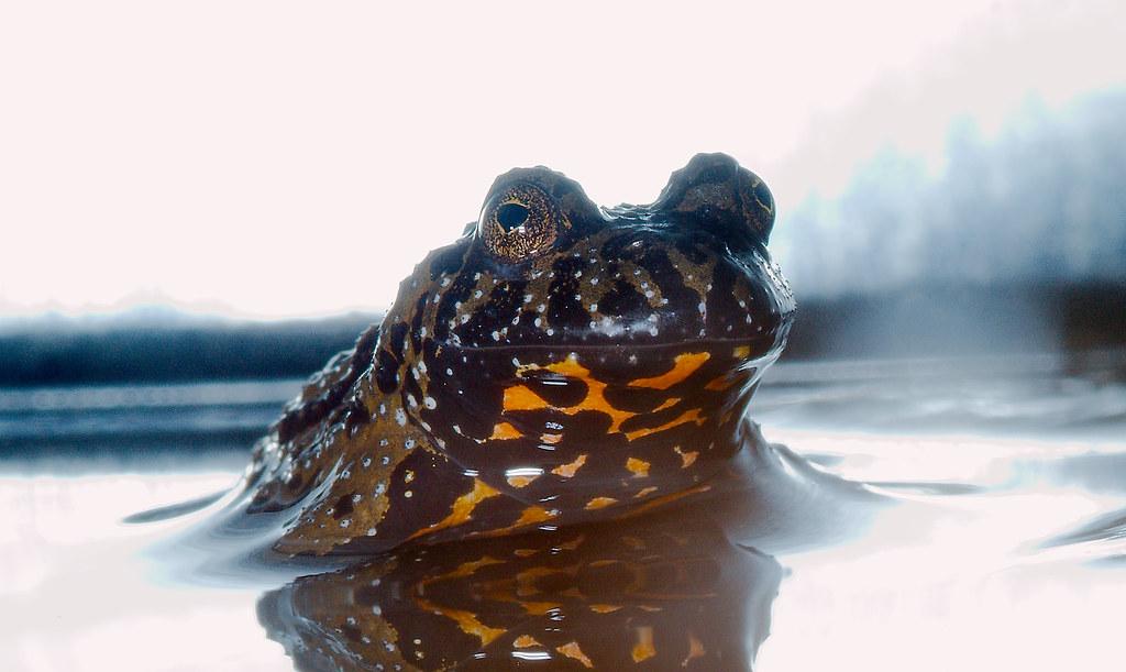 Oriental Fire-fellied Toad (Bombina orientalis)_1