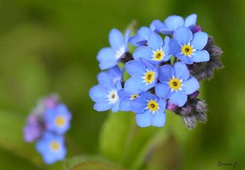 forget me not flowers how to take care of